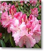 Rhododendron Garden Art Prints Pink Rhodie Flowers Metal Print
