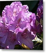 Rhododendron In The Morning Light Metal Print