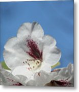 Rhododendron In White And Burgundy Metal Print