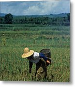 Rice Harvest In Southern China Metal Print