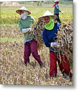 Rice Harvest Metal Print