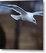 Ring-billed Gull Gliding Portraits 2 Metal Print