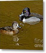 Ring-necked Duck Pair Metal Print