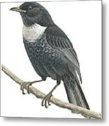 Ring Ouzel  Metal Print by Anonymous