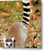 Ring-tailed Lemur Lemur Catta Walking Metal Print