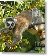 ring-tailed lemur Madagascar 1 Metal Print