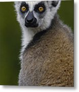 Ring-tailed Lemur Portrait Madagascar Metal Print