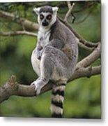 Ring-tailed Lemur Sitting Madagascar Metal Print