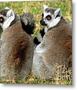 Ring-tailed Lemurs Lemur Catta Metal Print