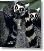 Ringtailed Lemurs Portrait Endangered Wildlife Metal Print