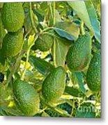 Ripe Avocado Fruits Growing On Tree As Crop Metal Print
