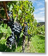 Ripe Grapes Right Before Harvest In The Summer Sun Metal Print