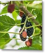 Ripe Mulberry On The Branches Metal Print