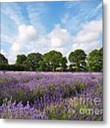 Ripening English Lavender In Hampshire Metal Print