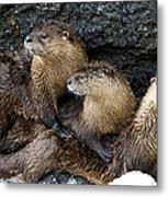 River Otter Trio   #0922 Metal Print