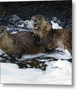 River Otters   #1030 Metal Print