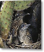 Roadrunners In Nest Metal Print
