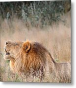 Roar Of The Kalahari Metal Print