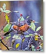 Robin And Berries Metal Print