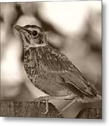 Robin Bird Black And White Metal Print
