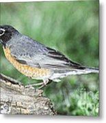 Robin Eating Mealworm Metal Print