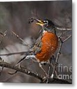 Robin Pictures 100 Metal Print