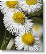 Robin's Plantain Wildflowers - Erigeron Pulchellus Metal Print