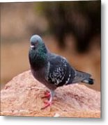 Rock Pigeon 030515 A Metal Print