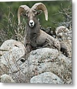 Rocky Mountain Big Horn Metal Print