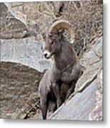 Rocky Mountain Big Horn Sheep Ram Metal Print