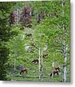 Rocky Mountain Elk Herd Metal Print
