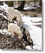Rocky Mountain Goats - Mother And Baby Metal Print