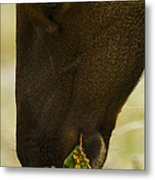 Roosevelt Elk Solemnly Feeding On The Beach Metal Print by Phil Johnston