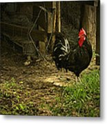 Rooster In The Hen House Metal Print