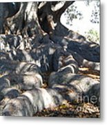 Roots Of Large Fig Tree Metal Print