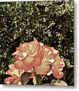 Rose 55 Metal Print