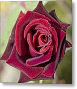 Rose 7 Metal Print