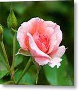 Rose And Raindrops Metal Print