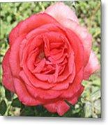 Rose At Clark Gardens Metal Print