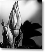 Rose Bud Metal Print