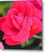 Rose Bush Metal Print