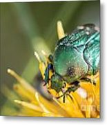 Rose Chafer Metal Print