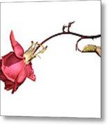 Rose For Isabel Metal Print