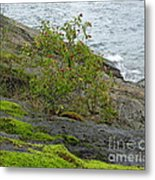 Rose Hip Bush Metal Print