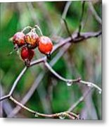 Rose Hip Wet Metal Print