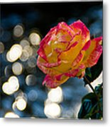 Rose In Dappled Afternoon Light Metal Print