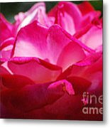 Rose Like A Lotus Flower Metal Print
