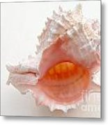 Rose Murex Seashell Metal Print