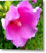 Rose Of Sharom Wet Metal Print