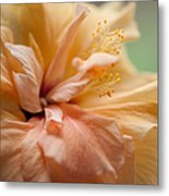 Rose Of Sharon. Hibiscus Metal Print